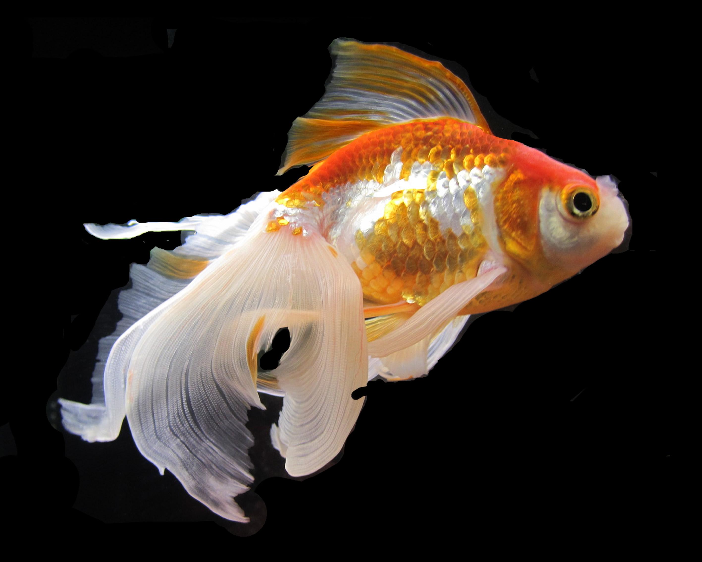 Goldfish - Lynnette Ann Moodey Artist